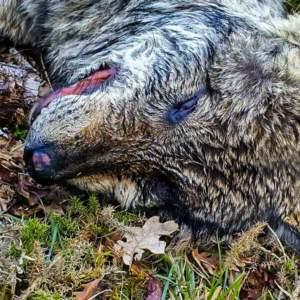 Así han acabado dos ejemplares de lobo ibérico en Portugal, donde su control está prohibido