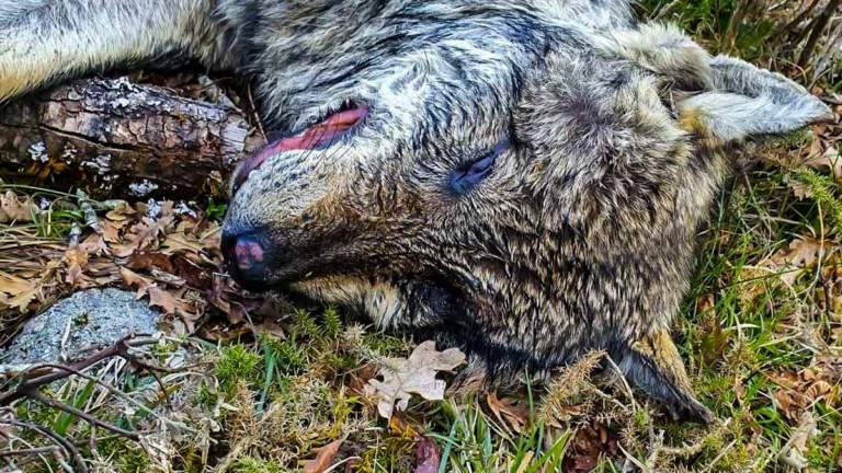 lobo iberico muerto portugal