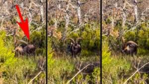 Se topa con uno de los machos de cabra montés más grandes de España a solo tres metros