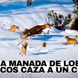 Así caza una manada de lobo ibérico a un ciervo en la nieve