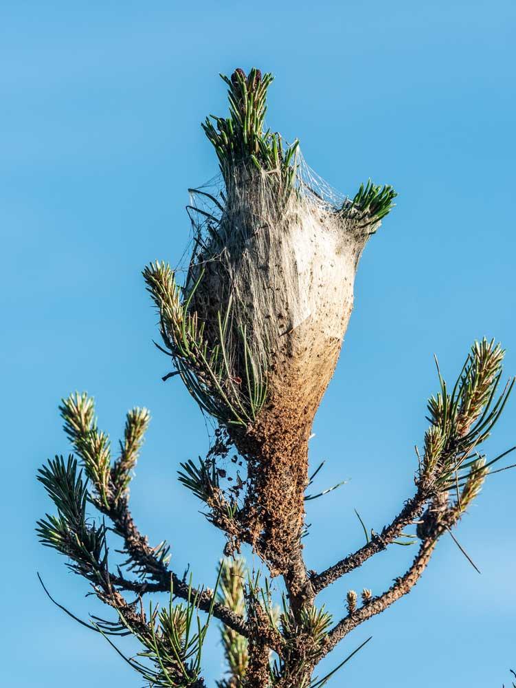Un nido de procesionaria sobre un pino. ©Shutterstock