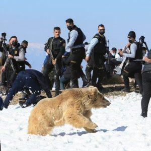 Animalistas liberan a varios osos y estos se vuelven contra ellos sembrando el pánico