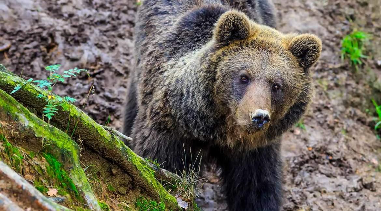 Un cazador se encuentra frente a un oso en una batida de jabalí en el norte de España