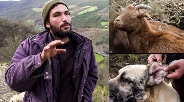 La triste paradoja de este pastor: cría cabras en peligro de extinción y «el lobo me mata 100 al año»
