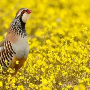 Cambio climático: Así afecta a la perdiz roja y a su plumaje