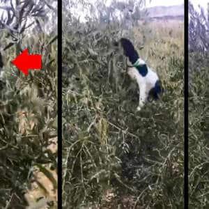 Un cobro imposible: este perro de caza se sube a un olivo para coger un zorzal