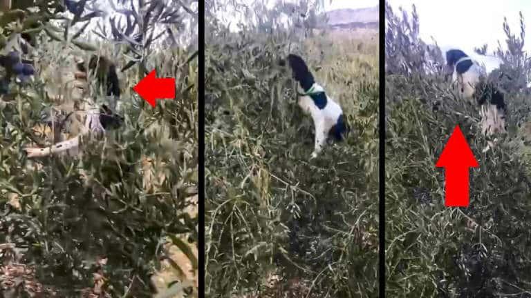 El perro se sube al olivo a cobrar el zorzal