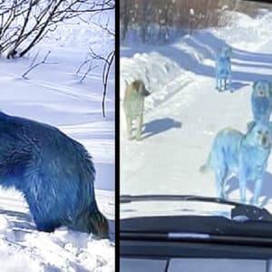 Fotografían a un grupo de perros asilvestrados con el pelo azul: ¿Por qué tienen ese color?