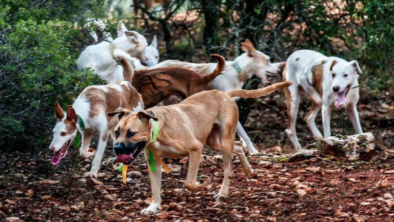 perros de caza como los que murieron por la enfermedad de Aujeszky