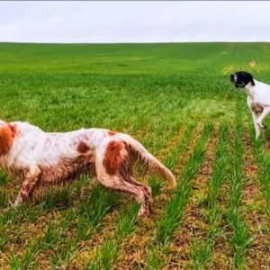 Transforma perros que «no sirven para cazar» en magistrales perros de muestra y arrasa en TikTok
