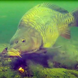 Así es como las grandes carpas pican el anzuelo del pescador bajo el agua