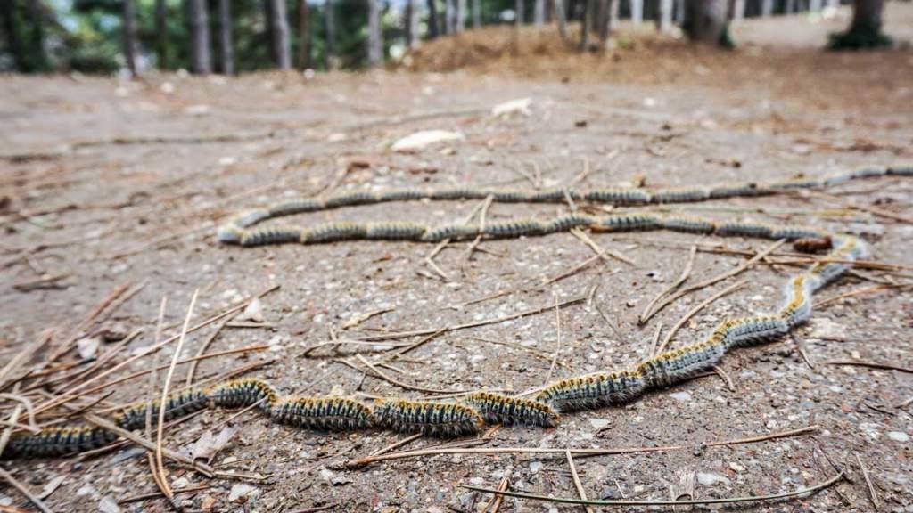 Las orugas de la procesionaria del pino en el suelo.