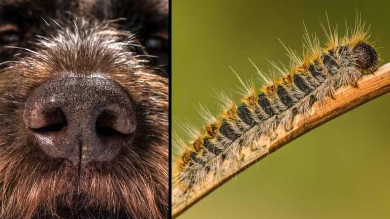 Las orugas de la procesionaria del pino son muy peligrosas para nuestros perros. ©Shutterstock