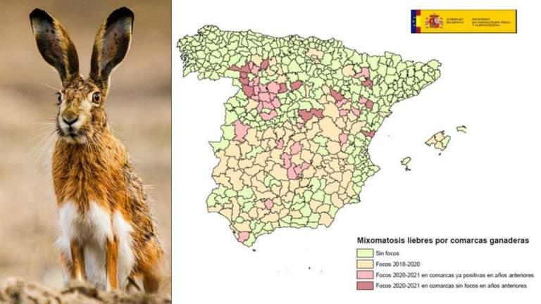 Situación de la mixomatosis en liebres según el último informe del MITECO. ©MITECO y Shutterstock