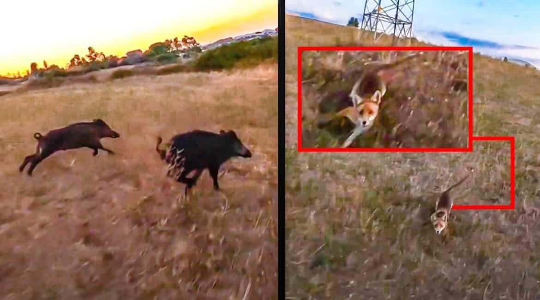 Un zorro ataca y derriba a un dron que grababa a una piara de jabalí a la carrera