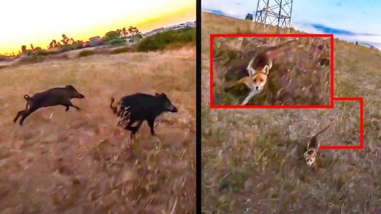 jabalíes y zorro con dron