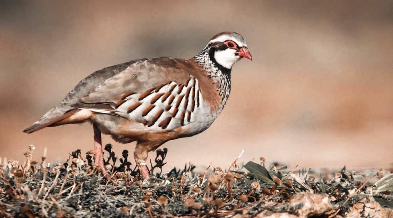 Europa inicia un proceso para prohibir la caza de la perdiz roja en España