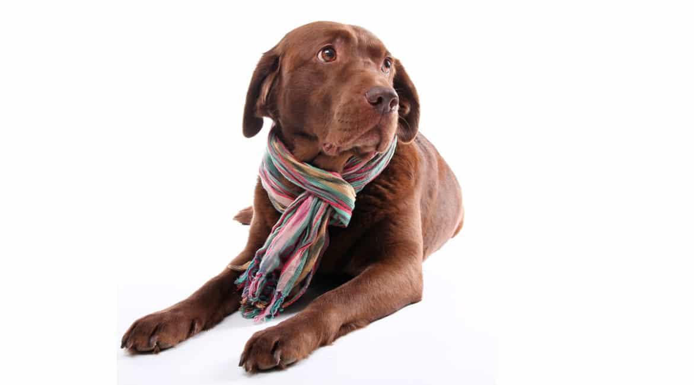 ¿Por qué tose mi perro de caza? Estas pueden ser algunas de las causas