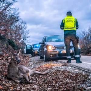 Esta es la ejemplar actuación de un cazador testigo de un accidente con un ciervo en Palencia