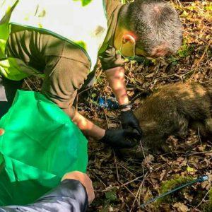 La Guardia Civil pilla a un agricultor colocando un lazo y con un jabalí muerto