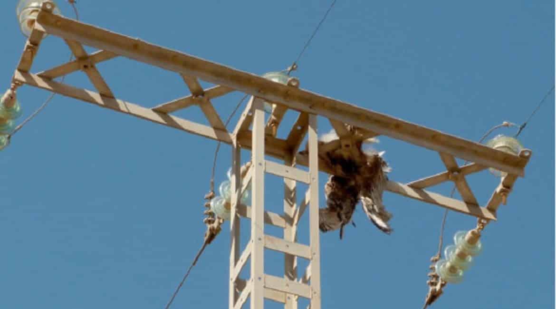 Lluvia de críticas al Gobierno por gastar 60 millones en prevenir la electrocución de aves