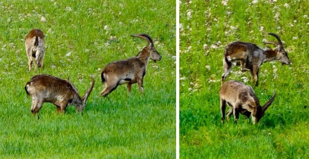 Más imágenes de cabras afectadas por la sarna. ©Samuel Romero