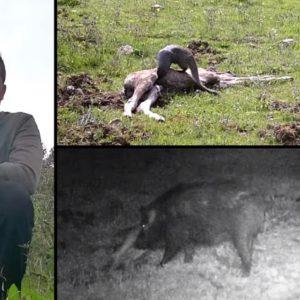 Coloca una cámara trampa junto a un animal muerto y se sorprende con lo que graba