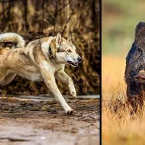 Así es la caza de jabalí con Laika de Siberia Occidental en España: «Los acechan como lobos»