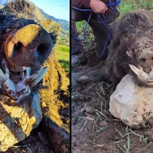 Caza un gran jabalí de 143 kilos en Granada