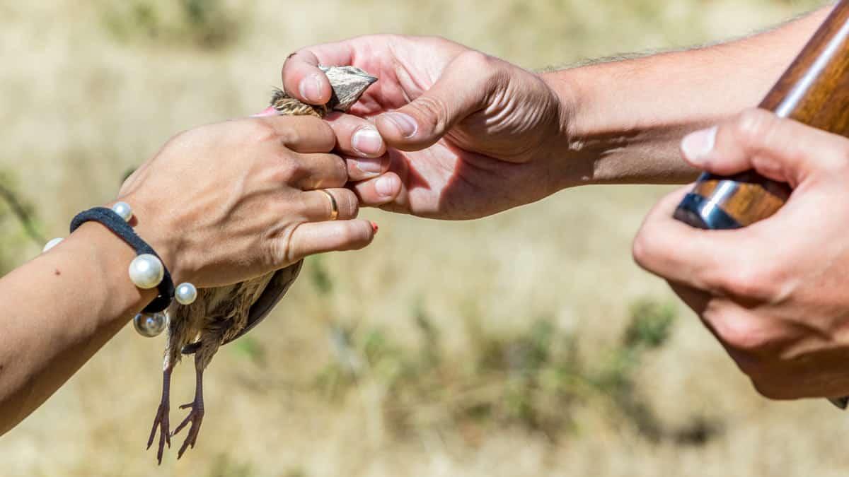 Los cazadores envían más de 10.000 muestras para el proyecto Coturnix que ayudará a preservar la codorniz