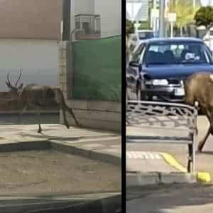 Graban a un ciervo corriendo en mitad de las calles de un pueblo de Badajoz