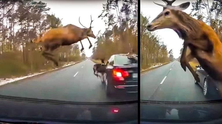 Dos de los ciervos saltando sobre los coches. © Instagram