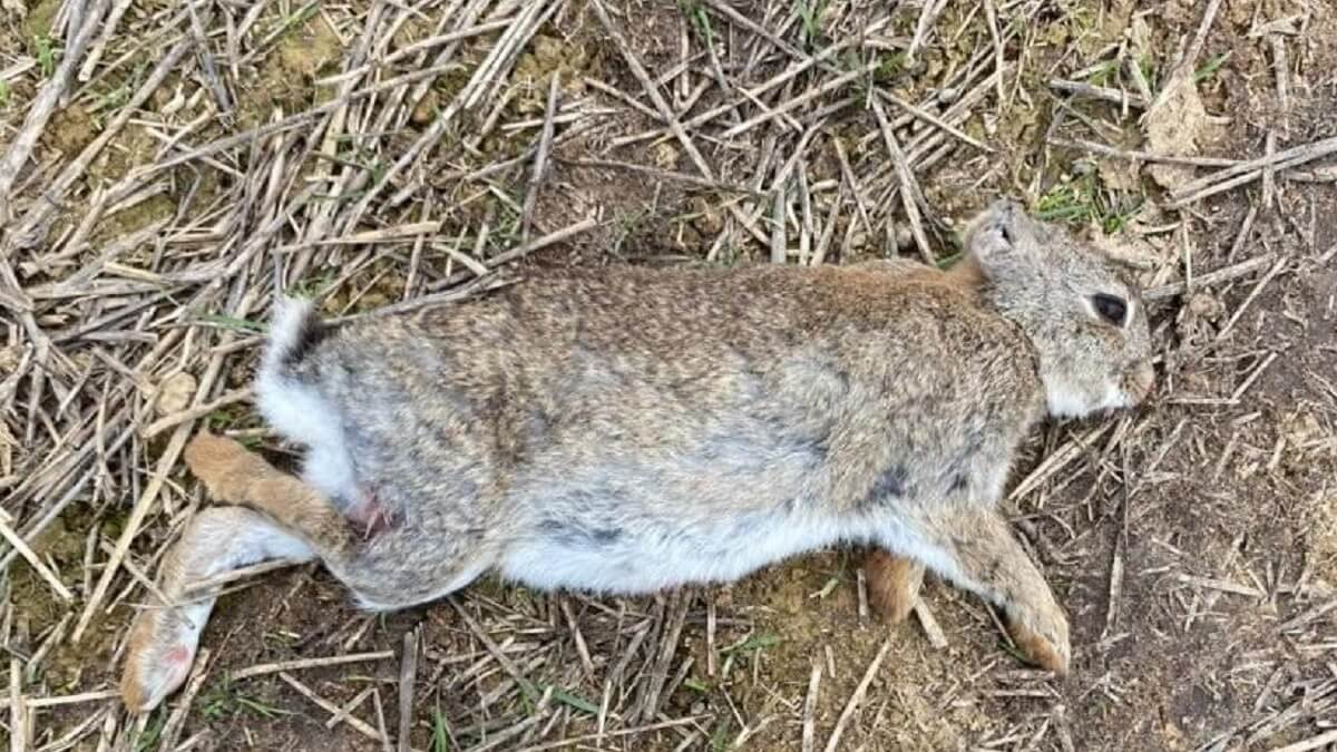 Cazan un conejo sin orejas en Lérida, ¿Por qué pasa esto?