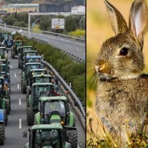 Los agricultores sacarán sus tractores a la calle para protestar contra la  plaga de conejos en CLM