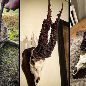 Caza un raro corzo peluca, le quita la borra y descubre este increíble trofeo