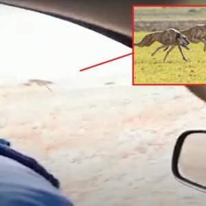Se graban furtiveando liebres desde el coche y lo suben a las redes sociales