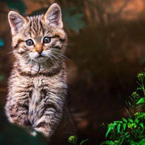 Un cazador consigue grabar esta adorable escena: tres crías de gato montés recién nacidas