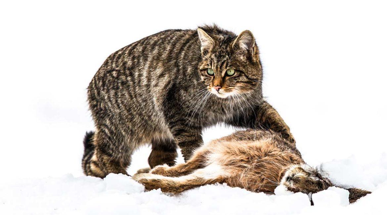 Gato montés: el cazador silencioso