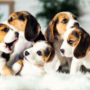 El Gobierno quiere prohibir la cría de perros en España a particulares