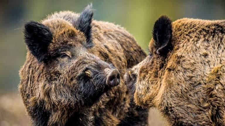 Cazar un gran jabalí es el sueño de cualquier cazador. ©Shutterstock