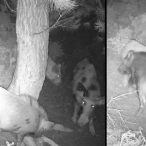 Pone una cámara de fototrampeo en un pinar de Málaga y se lleva esta sorpresa