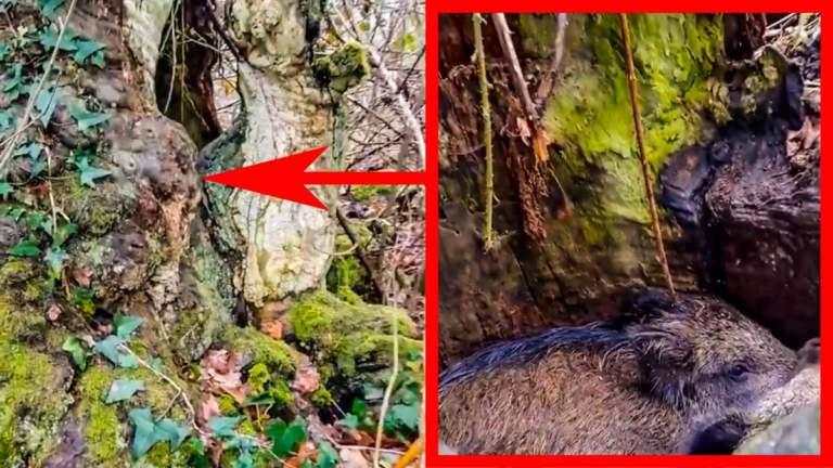 Los dos jabalíes dentro del tronco.