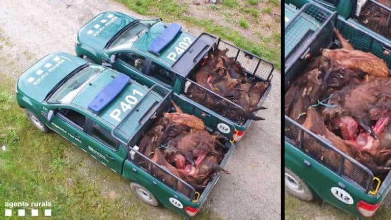 Dos vehículos con 45 jabalíes decomisados.