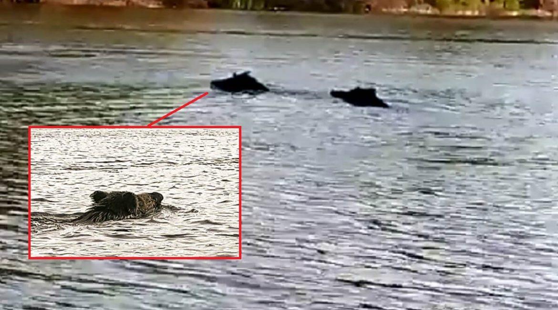 Graban a dos jabalíes cruzando el Guadiana a la altura de Mérida