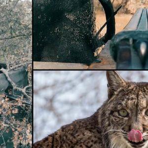 Hablamos con el cazador de perdiz con reclamo a cuyo pájaro atacó un lince
