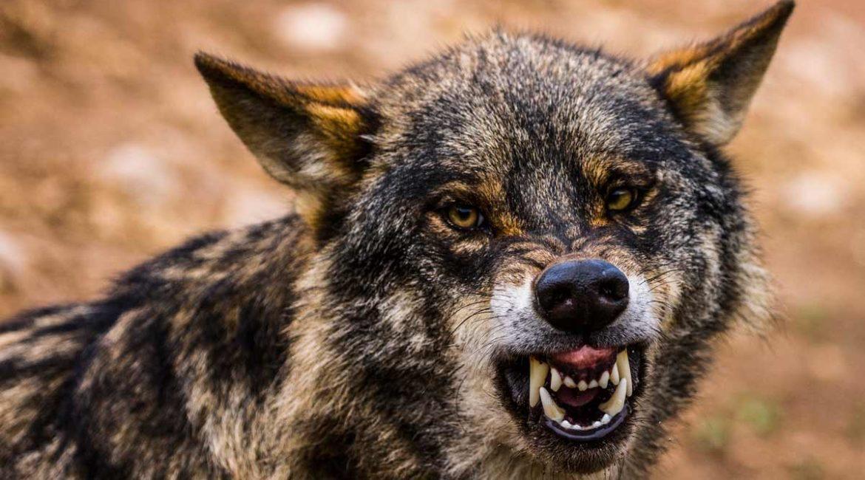 Asturias, Cantabria, Castilla y León y Galicia se plantan: si se blinda el lobo irán a los tribunales