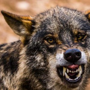Un cazador se encuentra frente a frente con un viejo lobo en Soria y graba el sorprendente momento