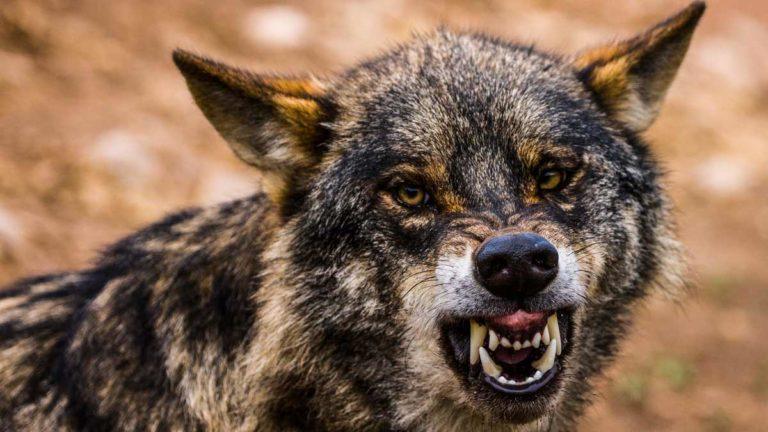 Lobo ibérico en imagen de archivo. ©Shutterstock