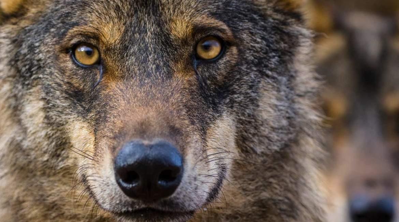 Una abogada especializada asegura que la prohibición de la caza del lobo podría ser nula