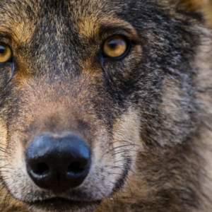 Ecología, la ciencia olvidada en el conflicto del lobo ibérico (y que ayudaría a resolverlo)